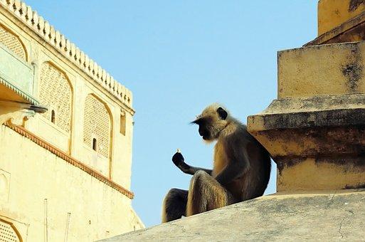 Langur, Animal, Sitting, Gray Langur, Monkey, Primate