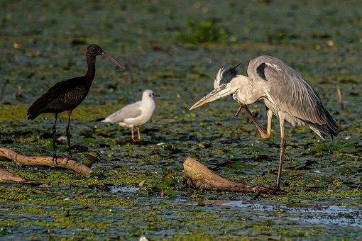 Birds, Grey Heron, Glossy Ibis, Black-headed Gull