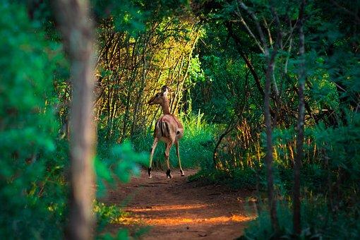 Buck, Duiker, Animal, Impala, Horns, Africa, Wild