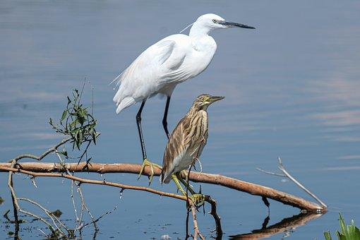 Birds, Branch, Lake, Reflection, Little Egret