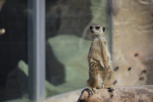 Meerkat, Animal, Zoo, Suricate, Mammal, Wildlife