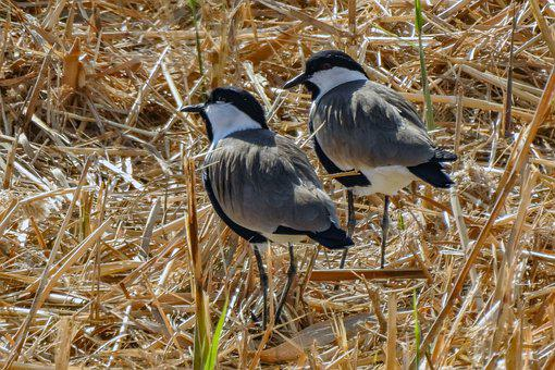 Spur-winged Plovers, Birds, Meadow