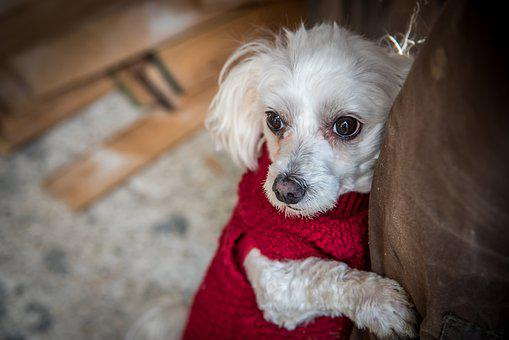 Maltese, Dog, Sweater, Pet, Animal, Domestic Dog