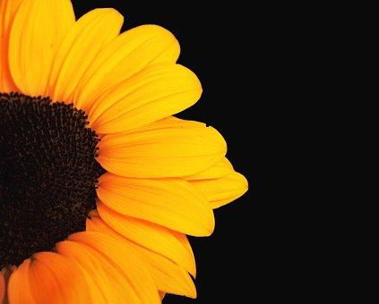 Flower, Sunflower, Petals, Bloom, Blossom, Flora