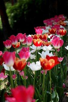 Tulip, Flowers, Plants, Nature, Garden, Arboretum