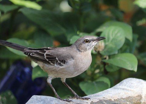 Mockingbird, Bird, Backyard, Perched, Songbird, Animal
