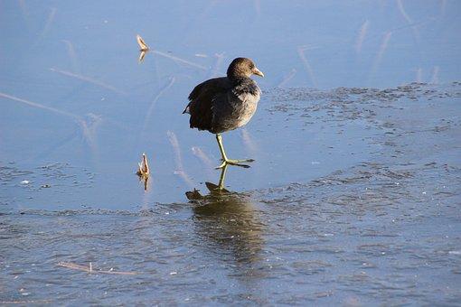 Water Cock, Moorhen, Bird, Standing On One Leg