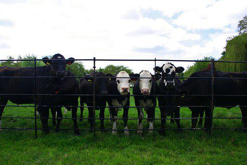 Cows, Cattle, Fence, Enclosure, Grass, Meadow