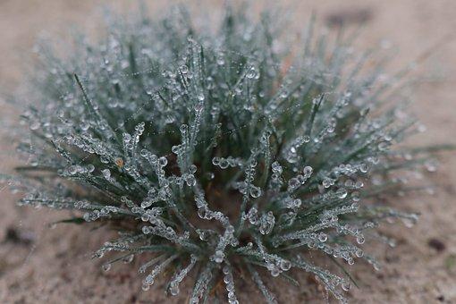 Bunt Grass, Corynephorus, Canescens