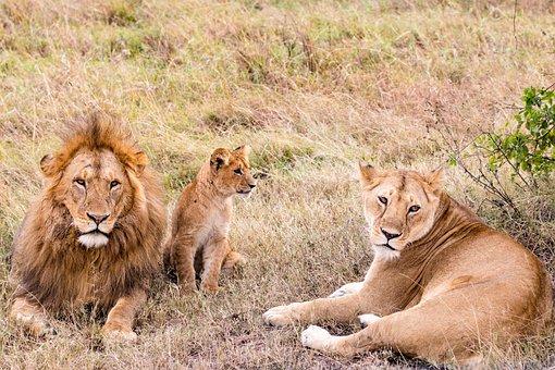 Lions, Lioness, Safari, Cub, Baby Lion, Animals