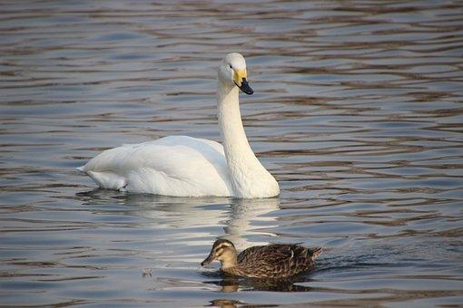 Swan, Mallard, Lake, White Swan, Duck, Birds