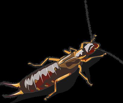 European Earwig, Insect, Animal, Earwig, Arthropod