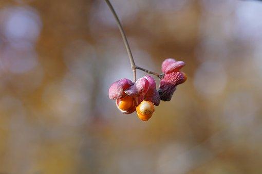 Euonymus, Evonymus, Spindle Tree, Berries, Pink Berries