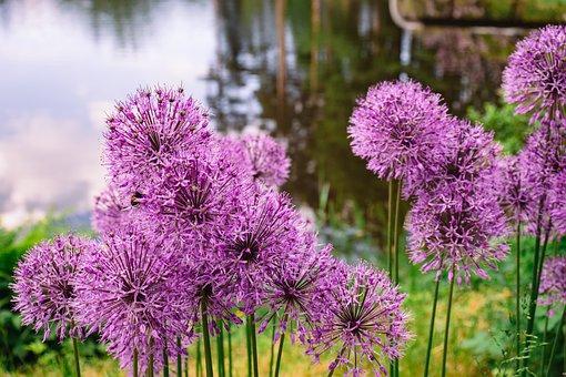 Allium, Flowers, Plants, Bloom, Blossom