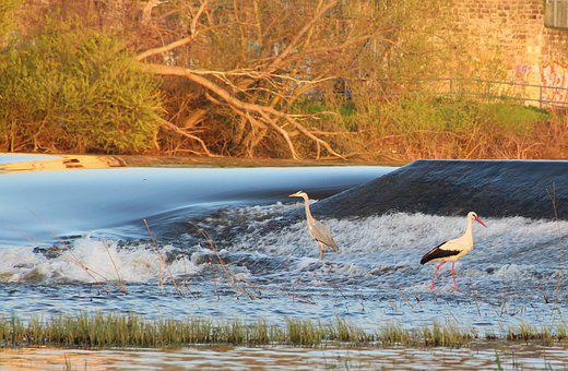 Stork, Heron, Waterfall, River, Nature, Water, Feather