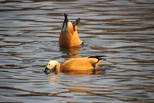 Ruddy Shelducks, Lake, Dive, Ducks, Birds, Waterfowls