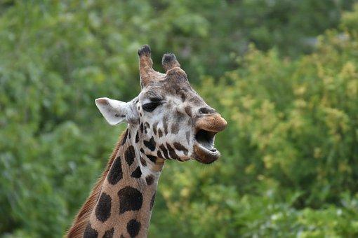Giraffe, Head, Horns, Long Neck, Zoo, Animal