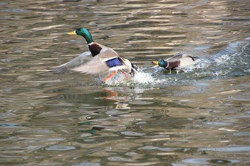 Ducks, Mallard, Wading, Chasing, Birds, Waterfowl