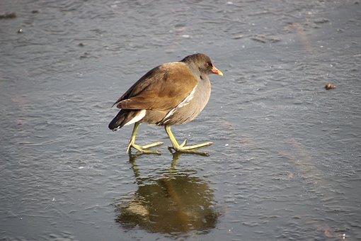 Water Cock, Moorhen, Bird, Walking, Walking Bird