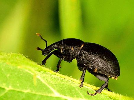 Balanin, Insect, Nature, Green