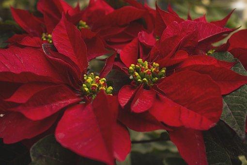 Flower Of Christmas, Flowers, Petals, Leaves, Foliage