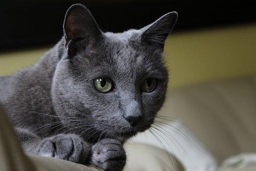 Cat, Russian Blue, Animal, Portrait, Pet, Race, Cute