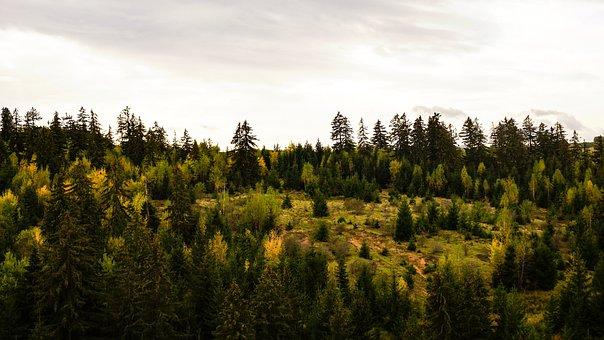 Transylvania, Romania, Forest, Trees, Conifers