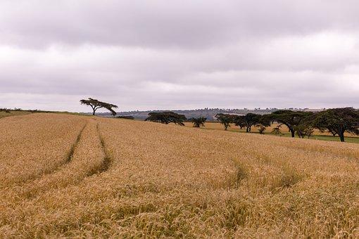 Wheat, Farm, Tree, Farming, Agriculture, Field, Barley