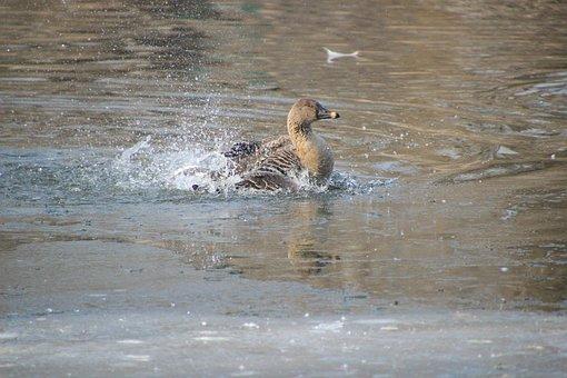 Duck, Mallard, Wading, Flapping, Bird, Waterfowl