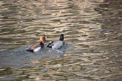 Ducks, Mallards, Birds, Animal, Water Birds
