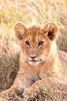 Lion, Cub, Feline, Predator, Carnivore, Wildlife