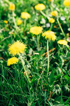 Dandelion, Flowers, Grass, Yellow Flowers, Bloom