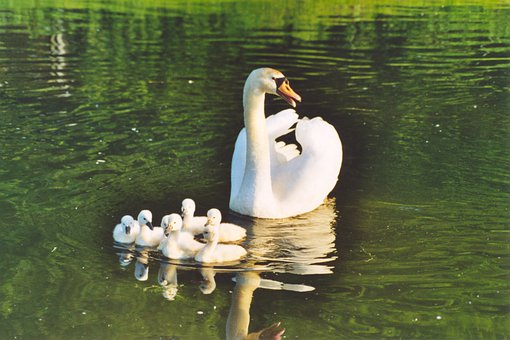 Swans, Cygnets, Lake, Baby Swans, Young Swans, Birds