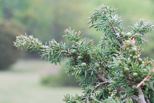Juniper, Shrub, Bush, Plants, Fruit, Flora, Botany