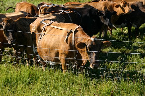 Cows, Cattle, Ruminant, Fence, Enclosure, Beef, Mammal