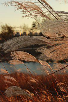 Reed, Grass, Sunset, Grass Flowers, Wind, Park, Plants