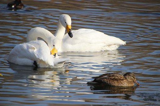 Swans, Duck, Lake, White Swans, Birds, Anatidae