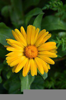 Cape Marigold, Flower, Plant, Daisy, Petals