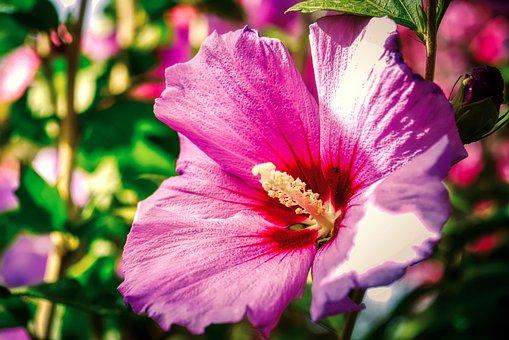 Hibiscus, Flower, Plant, Pink Flower, Mallow