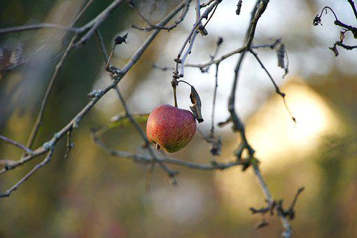 Apple, Tree, Branches, Single, Last Apple, Red Apple