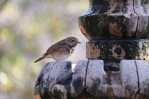 Spotted Ground-thrush, Thrush, Fountain, Bird, Animal