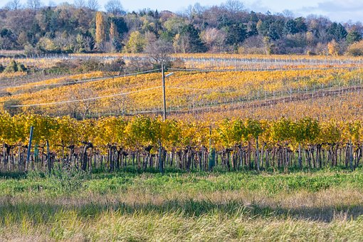Vineyard, Bisamberg, Stammerdorf, Vineyards, Grapevine