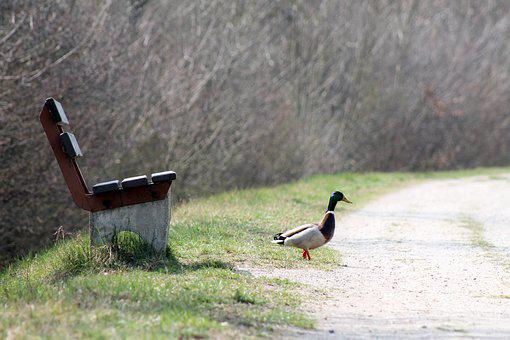 Duck, Mallard, Park, Bench, Wild Duck, Bird, Waterfowl