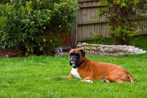 Boxer Dog, Canine, Pet, Animal, Breed, Dog, Boxer