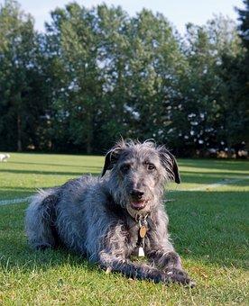 Dog, Animal, Beautiful, Lurcher, Gray, Grey, Close-up