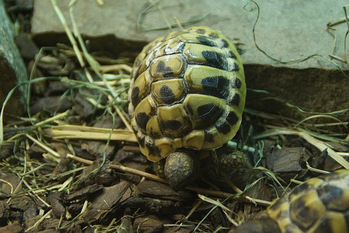 Greek Tortoise, Turtle, Tortoise, Animal, Juvenile
