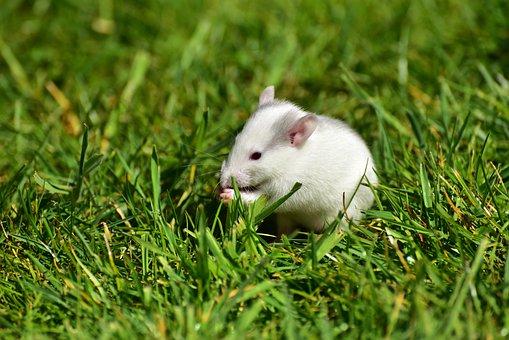 Rat, Baby Rats, Needy, Cute, Nager, Sweet, Baby