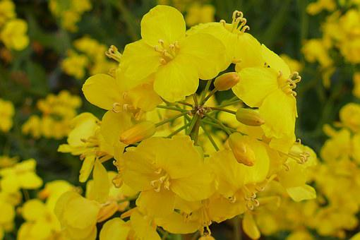 Oilseed Rape, Blossom, Bloom, Close, Agriculture