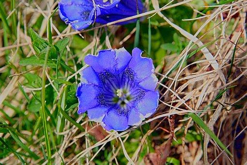Gentian, Blossom, Bloom, Blue, Flower, Plant