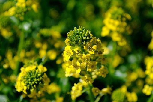 Oilseed Rape, Blossom, Bloom, Plant, Rape Blossom